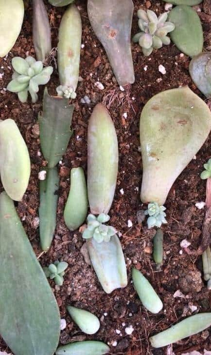 succulent propagation from leaves