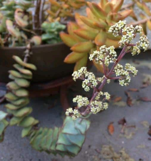 Crassula Perforata-String of Buttons in bloom with white flowers