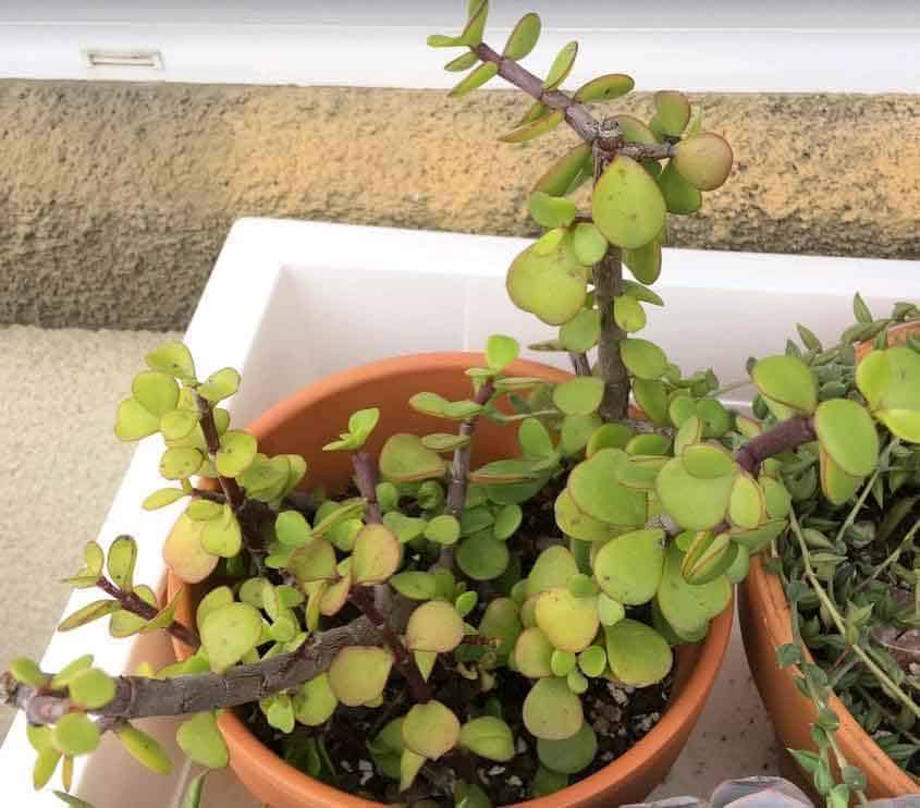 Portulacaria Afra 'Elephant Bush' rooted stem cutting