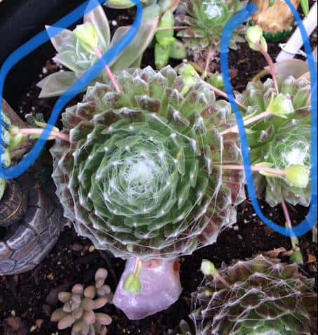 Sempervivum Arachnoideum 'Cobweb Hens and Chicks' offshoots