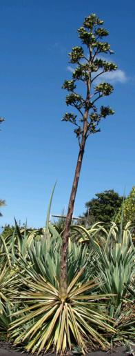 monocarpic agave plant in bloom