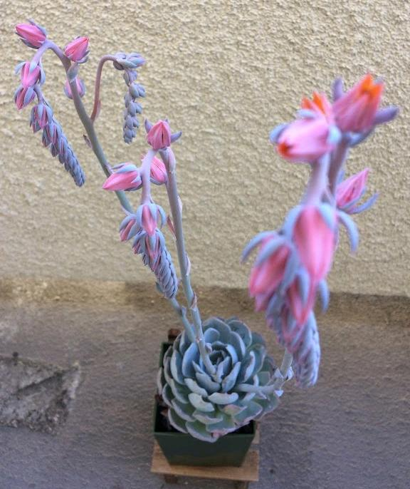 Echeveria 'peacockii' in bloom with pink flowers