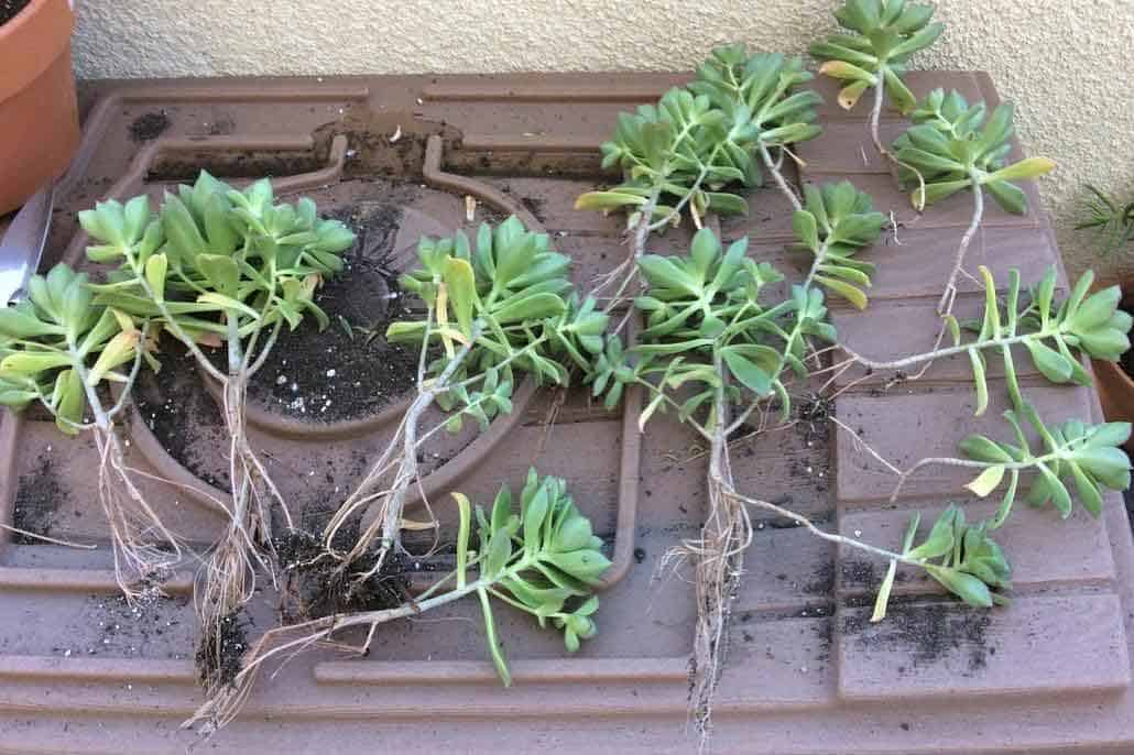 5 Reasons Why We Need To Repot Succulents Succulent Plant Care