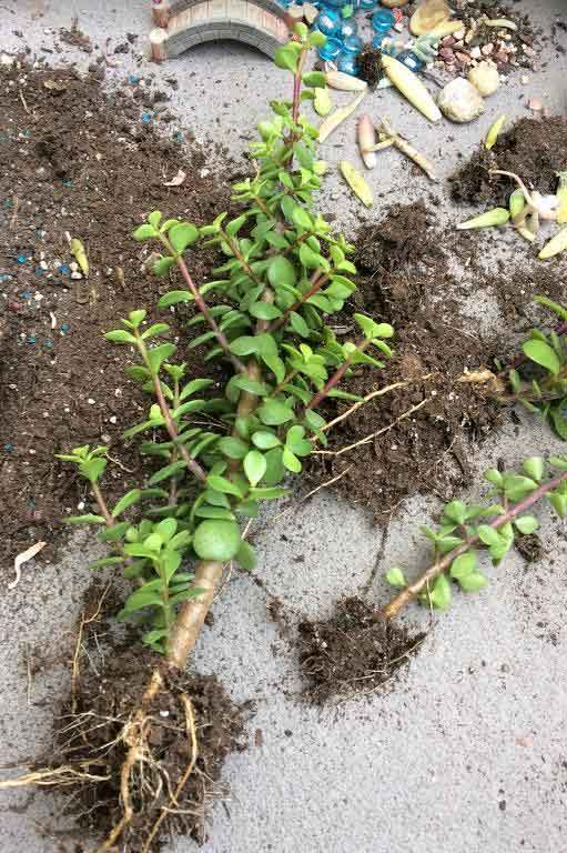Portulacaria Afra 'Elephant Bush' rooted stem cutting for propagation