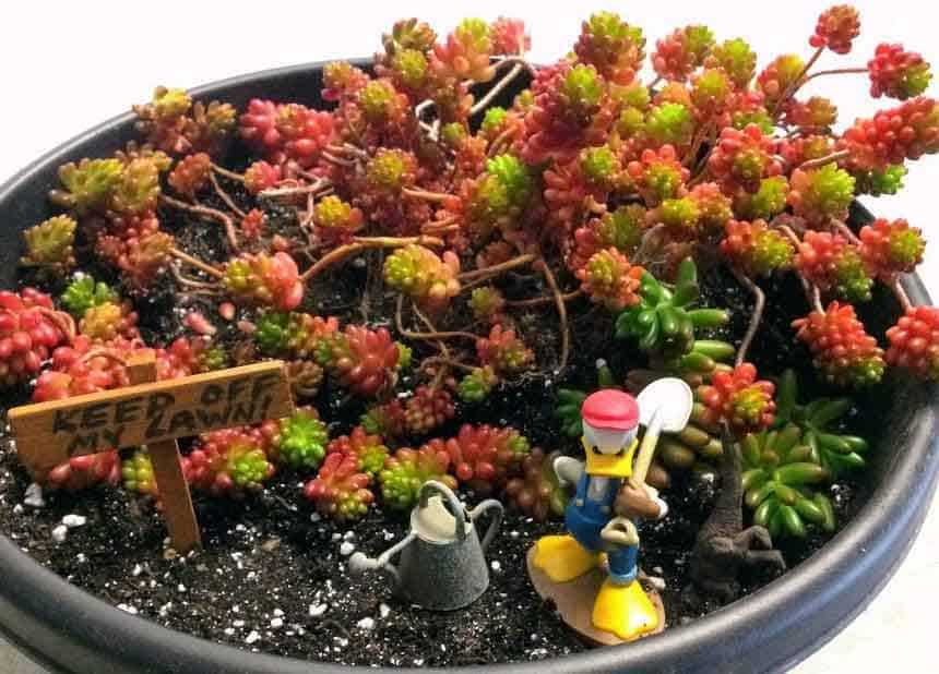 Sedum Rubrotinctum 'Jelly Bean Plant' or Christmas Cheer with red and green foliage