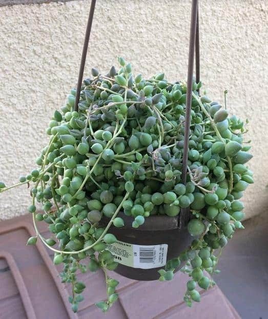 Healthy String of Pearls Senecio Rowleyanus
