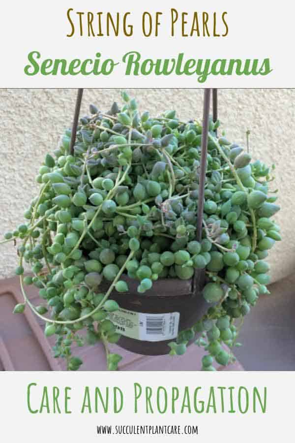 String of Pearls Plant-Senecio Rowleyanus Care and Propagation