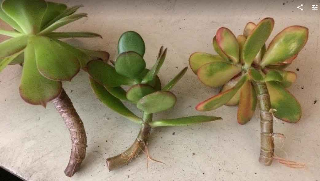 Jade plant and aeonium stem cuttings propagated in water