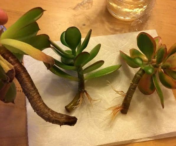 Succulent stem cuttings rooted and propagated in water