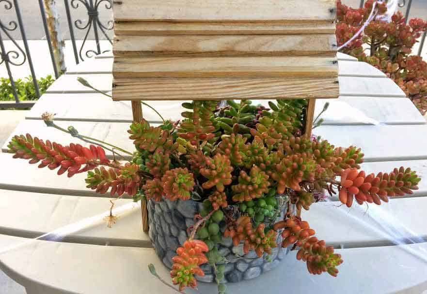 Sedum Rubrotinctum Jelly Bean plant with healthy green and red leaves