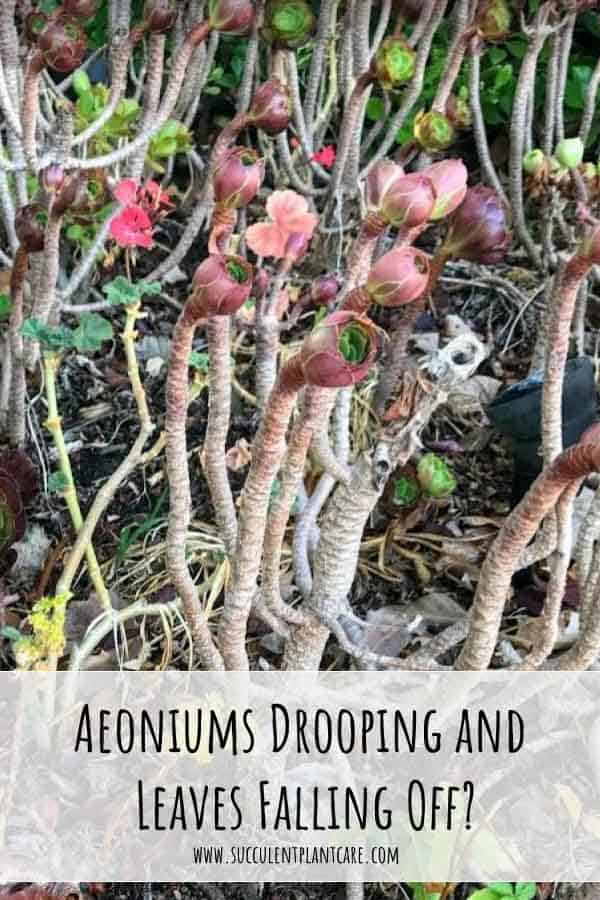 Drooping aeoniums, dormant aeoniums with fallen leaves