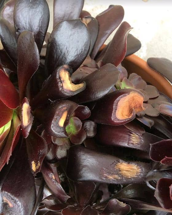 Aeoniums with sunburned, brown leaves