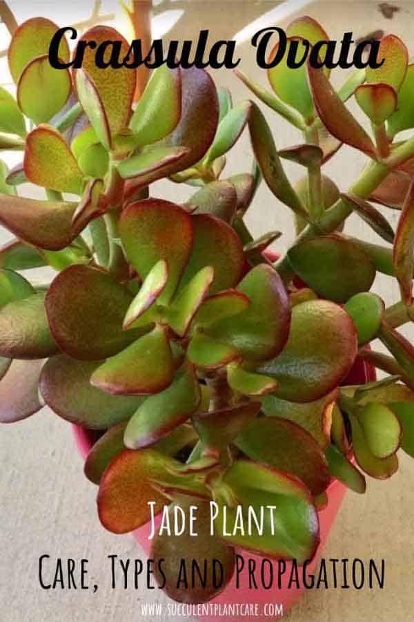 Details about  /Crassula seriacea fa Mini live succulent plant