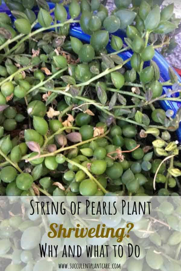 Shriveled String of Pearls Senecio Rowleyanus