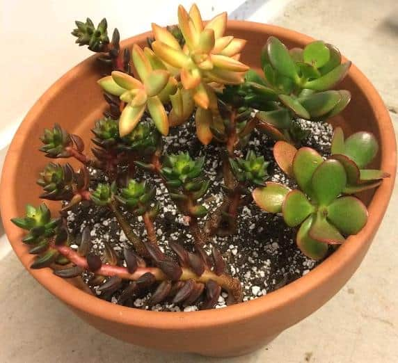 Succulent stem cuttings propagated in water and planted in soil