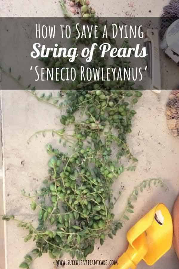 Senecio Rowleyanus 'String of Pearls' leaves shriveling, stem cuttings for propagation
