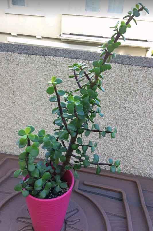 Portulacaria Afra Elephant Bush Care Types And Propagation Succulent Plant Care