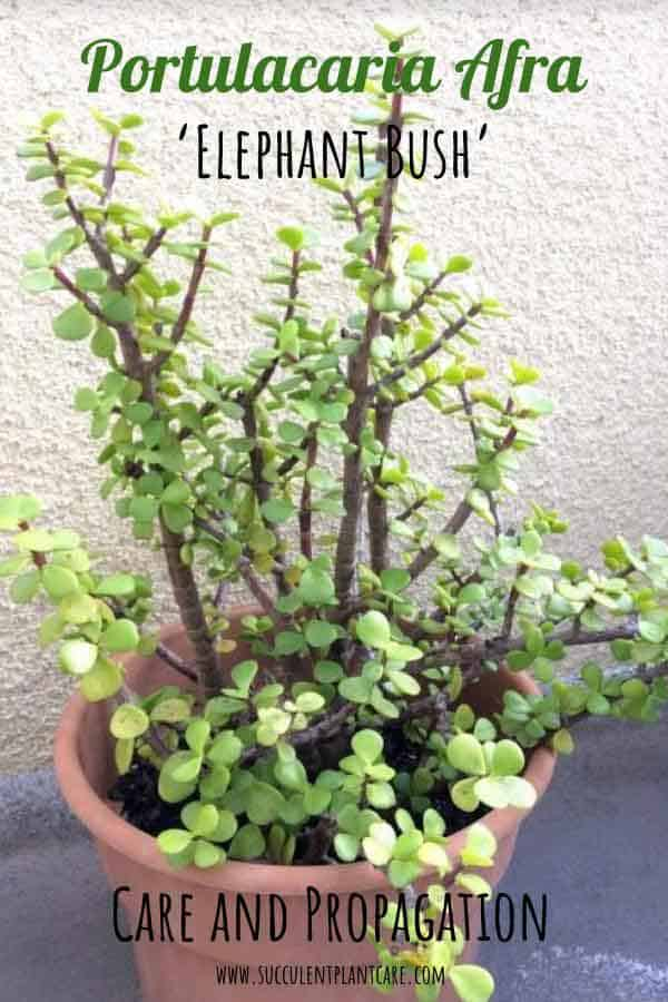 Portulacaria Afra 'Elephant Bush' with green round leaves and woody stems