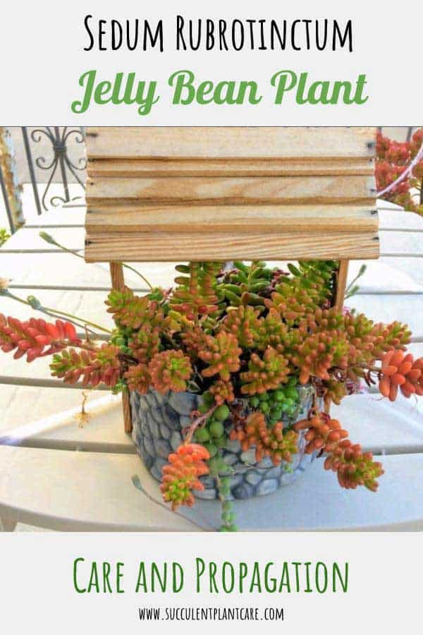 Sedum Rubrotinctum 'Jelly Bean Plant' with green and red leaves in well planter