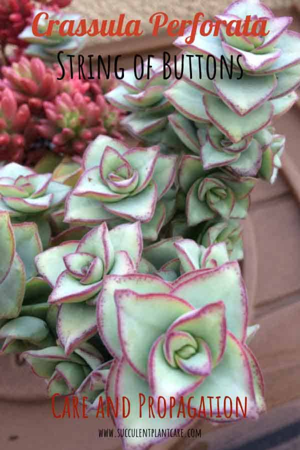 Crassula Perforata 'String of Buttons' Plant with pale green leaves and rosy pink edges
