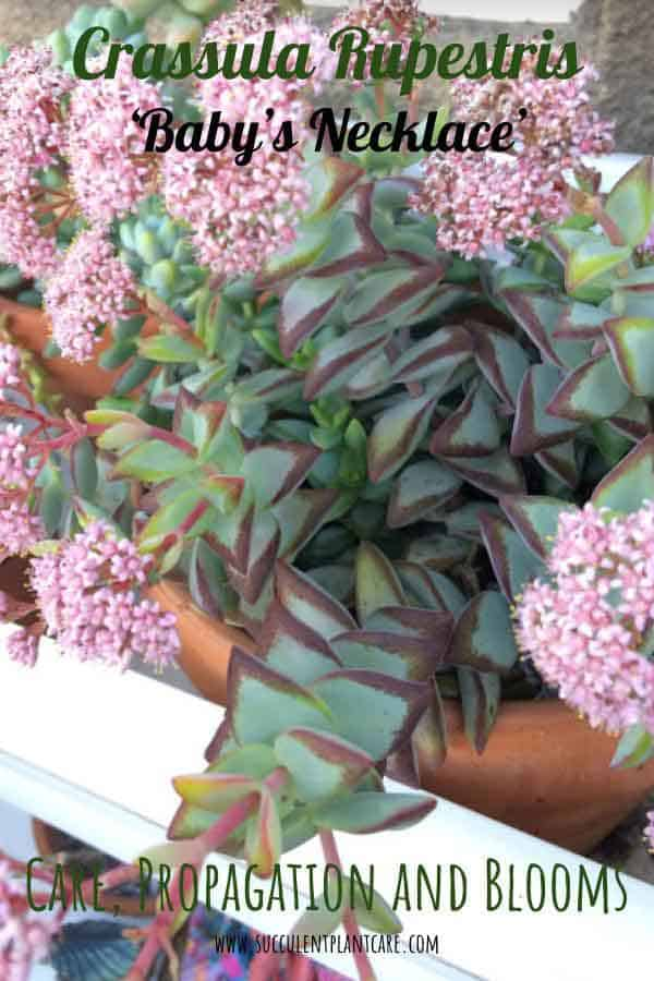 Crassula Rupestris 'Baby's Necklace' Plant in bloom with clusters of pink flowers