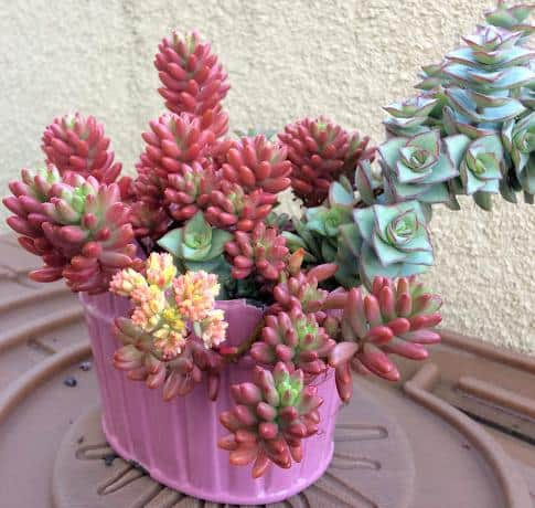 Sedum Rubrotinctum 'Aurora' Pink Jelly Beans with clusters of yellow flowers in bloom