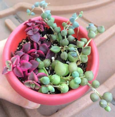 Senecio Rowleyanus String of Pearls propagation, stem cuttings