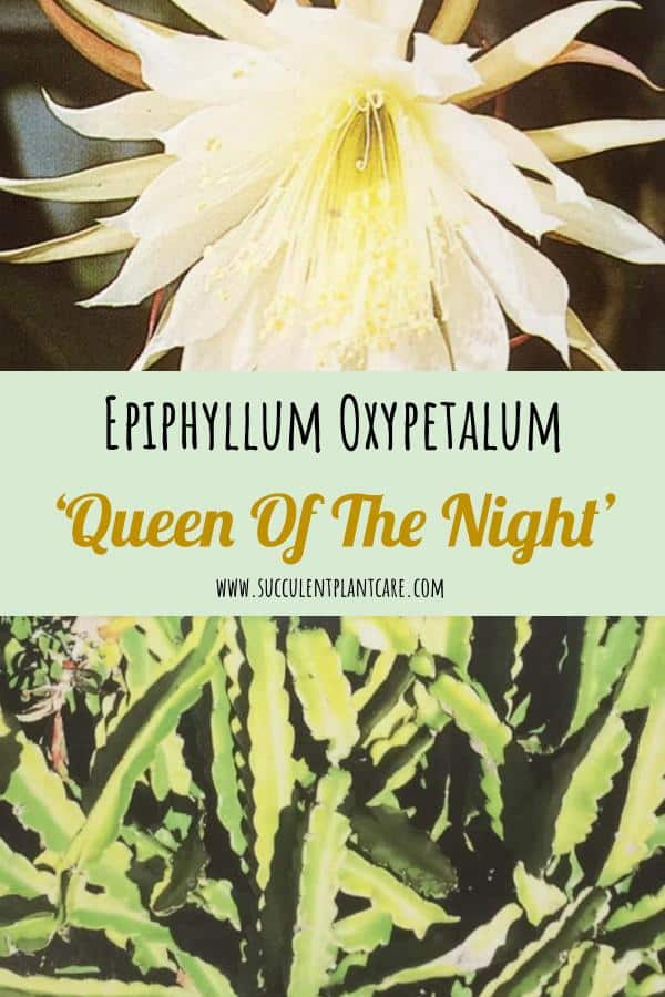 Epiphyllum Oxypetalum-Queen Of The Night Care Guide