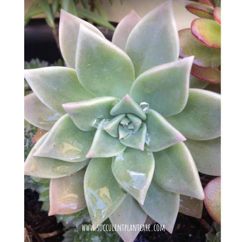Graptopetalum Paraguayense 'Ghost Plant' in pastel colors