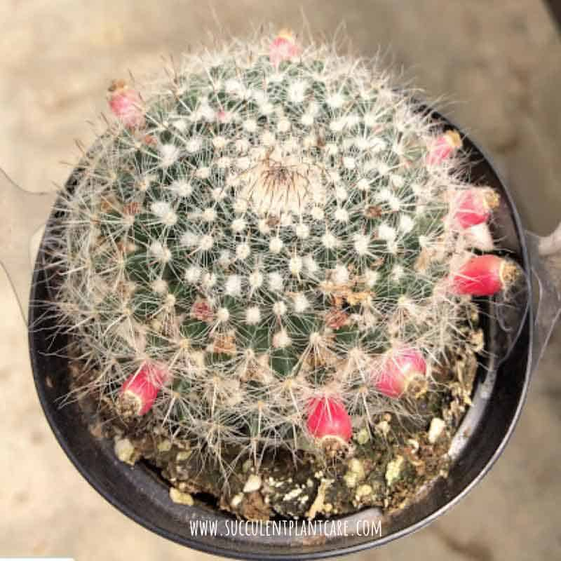 Mammillaria Hahniana 'Old Lady Cactus' after bloom