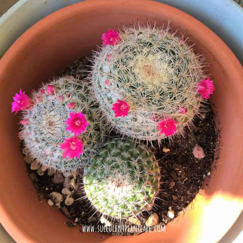 Mammillaria Hahniana 'Old Lady Cactus' in bloom with purple pink flowers around the plant
