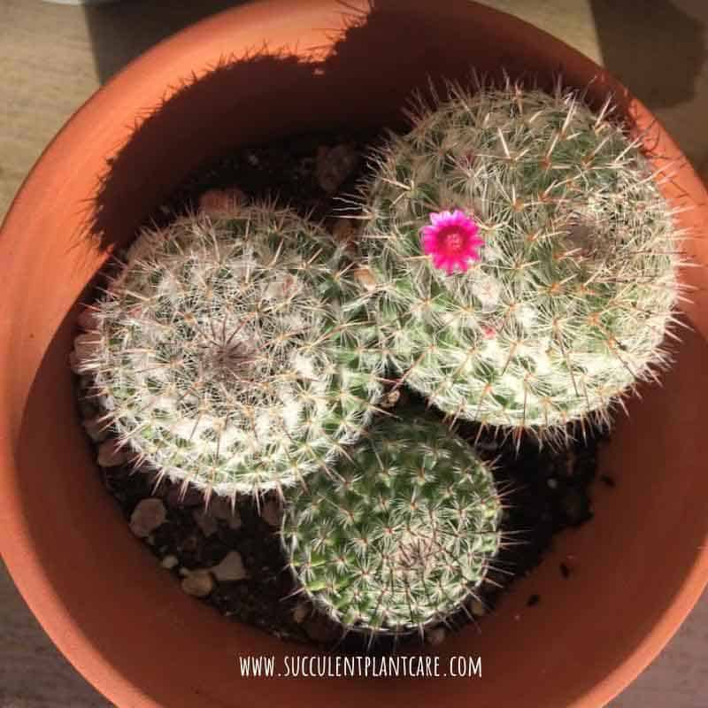 Mammillaria Hahniana 'Old Lady Cactus' with one pink flower