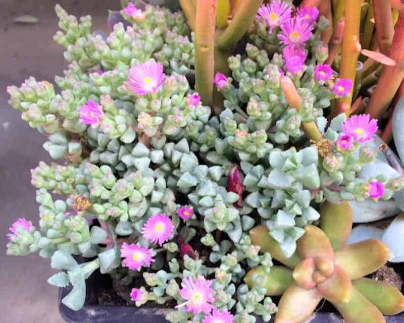 Oscularia Deltoides 'Pink Ice Plant' Care and Propagation