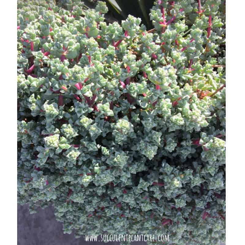 Oscularia Deltoides-Pink Ice Plant with three sided blue green leaves