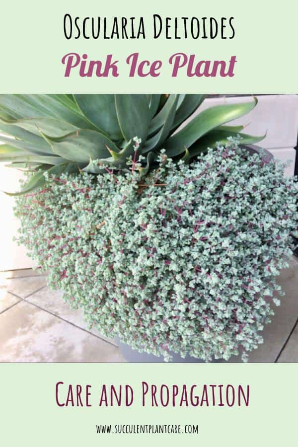 Oscularia Deltoides-Pink Iceplant cascading down a huge planter