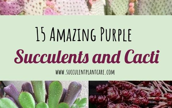 15 Amazing Purple Succulents and Cacti You Would Love