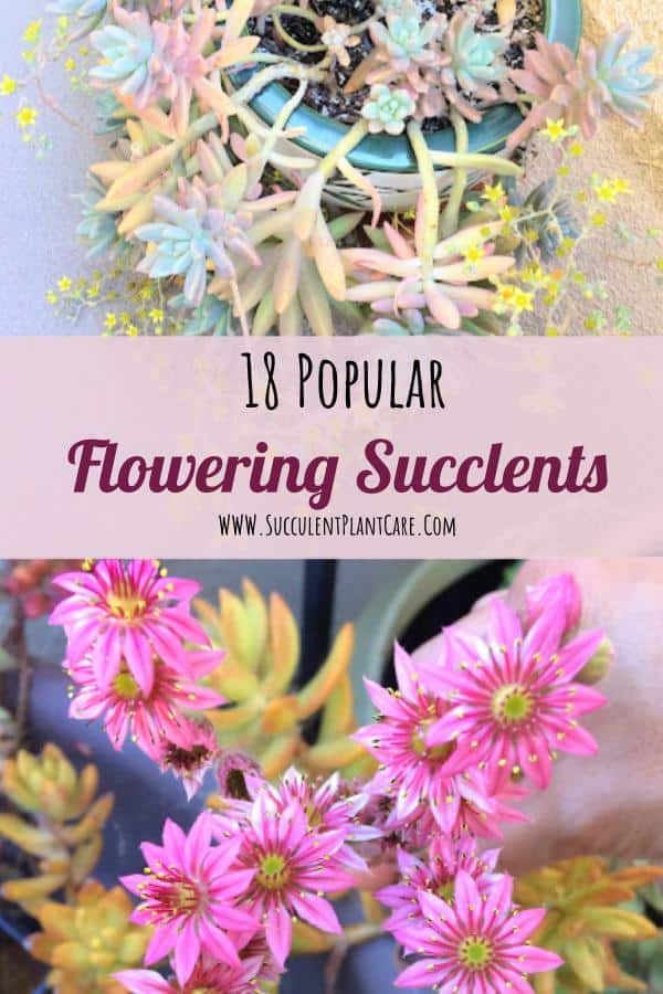 Succulents in bloom with yellow and magenta flowers