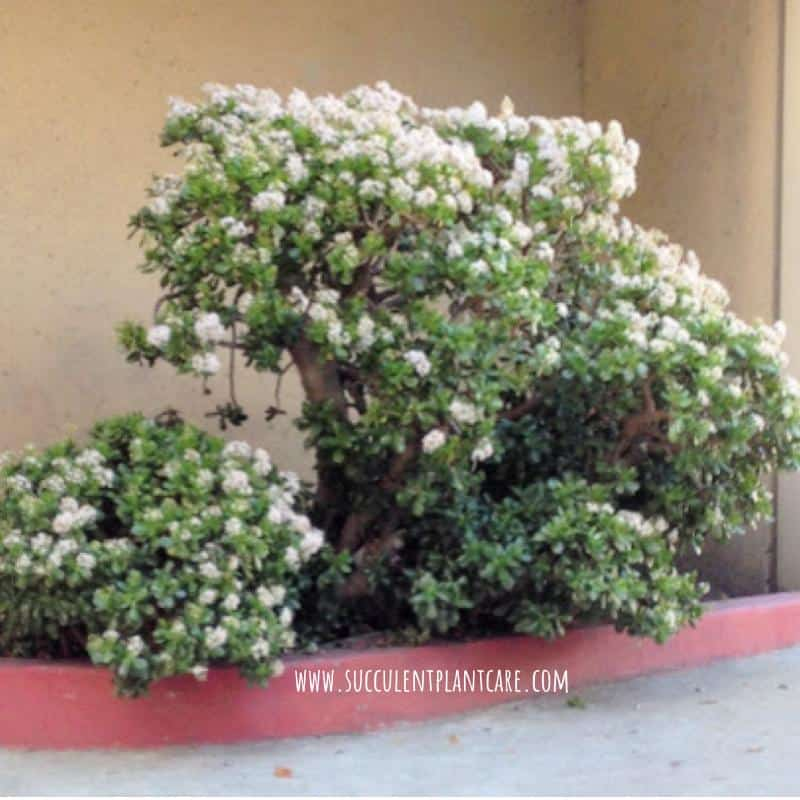 Crassula Ovata Jade tree in bloom with white flowers