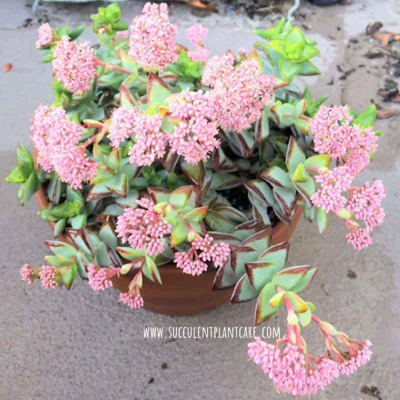 Crassula Rupestris-High Voltage, Baby Necklace in bloom with pink flowers