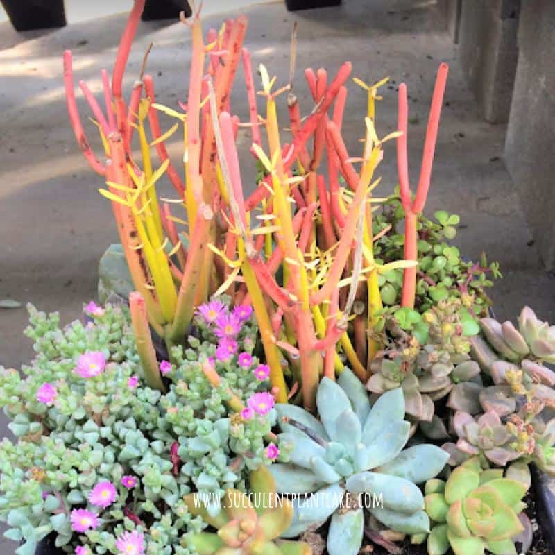 Euphorbia Tirucalli-Firesticks with red-orange stems in a succulent arrangement