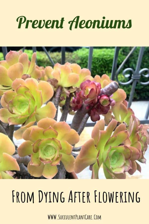How to Prevent Aeoniums From Dying After Flowering