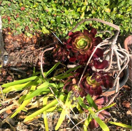 aeonium bloom stalk left to dry long after blooming