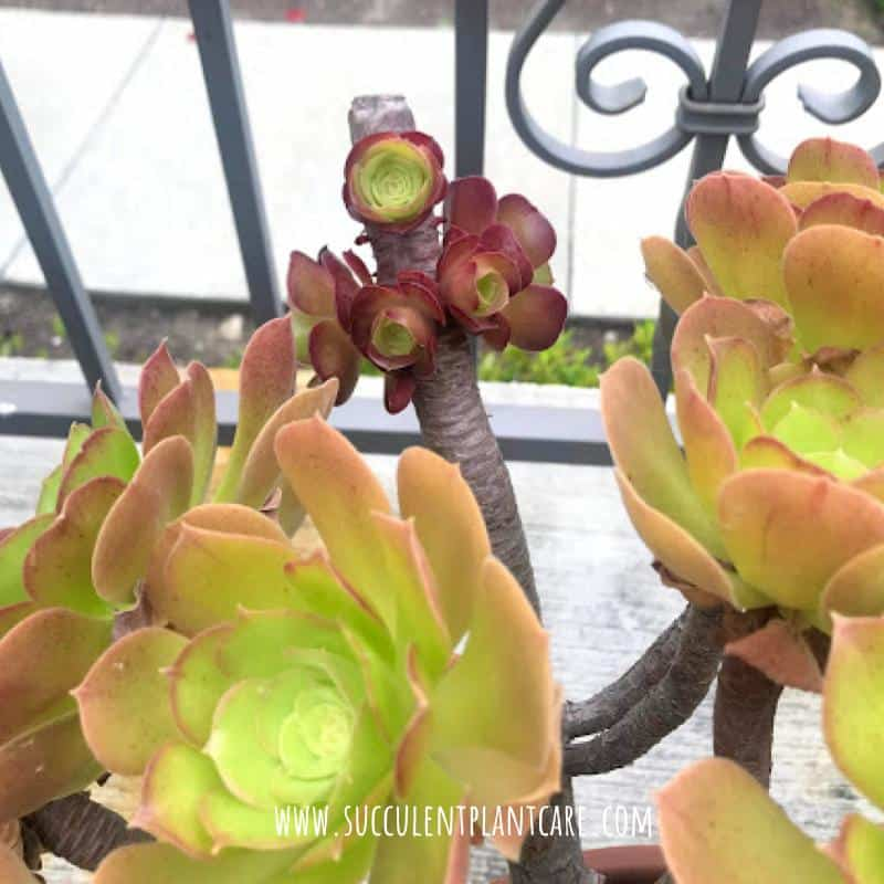 cluster of baby aeoniums growing after bloom stalk was cut off