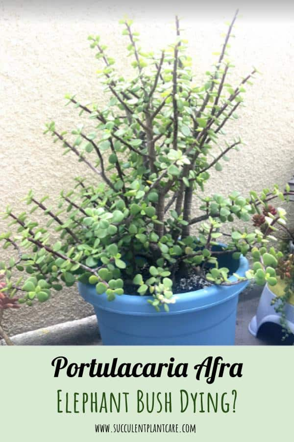 Is Your Portulacaria Afra (Elephant Bush) Dying?