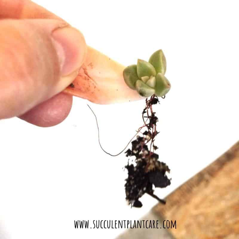 Succulent leaf cutting with roots