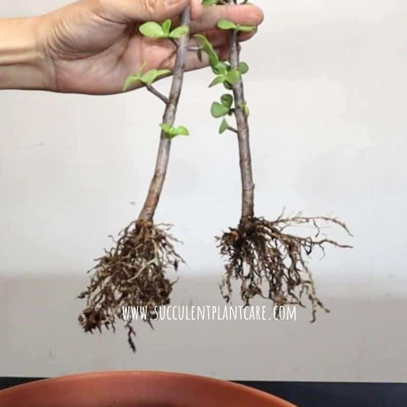 Portulacaria afra stem cuttings with new fibrous roots