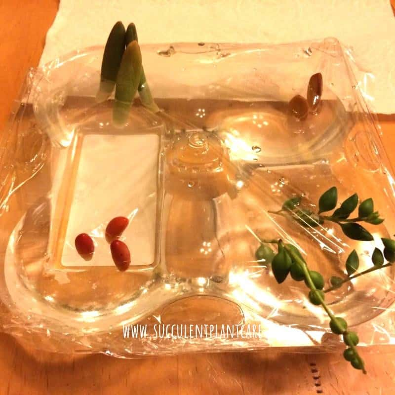 Succulent stems and leaves water propagation